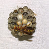 Paper Wasp and Nest, Polistes exclamans