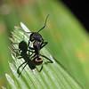 Golden Carpenter Ant, Camponotus sericeiventris, Belize