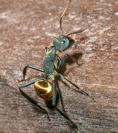 Golden Carpenter Ant, Camponotus sericeiventris