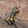 Golden Carpenter Ant, Camponotus sericeiventris