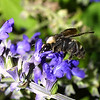 Bee pollinating flower nectar, Hymenoptera