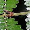 Acacia ant, Pseudomyrmex sp.