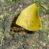 Leaf Cutter ants, Atta sp.