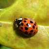 Multicolored Asian Lady Beetle, Ladybug, Harmonia axyridis