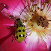 Twelve-spotted Cucumber Beetle, Diabrotica undecimpunctata howardi