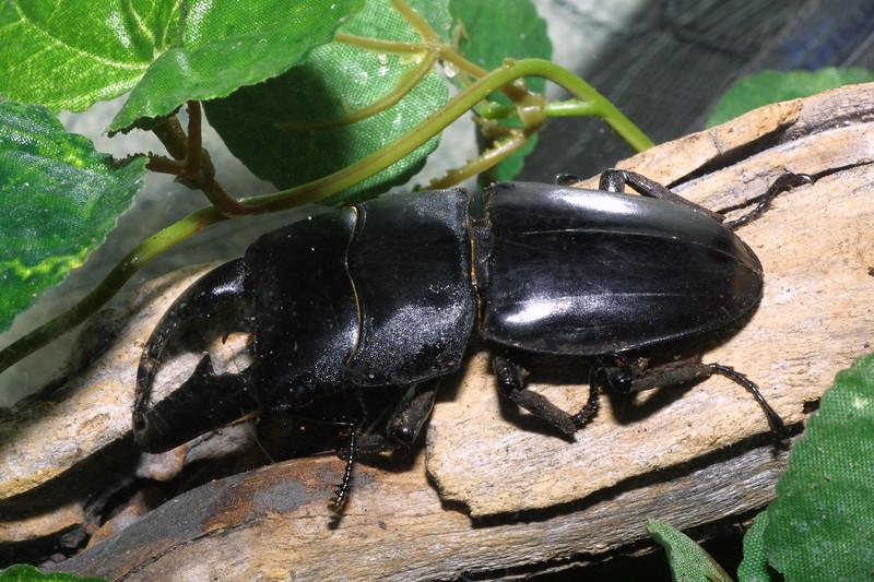 Black Stag Beetle, Dorcus titanus