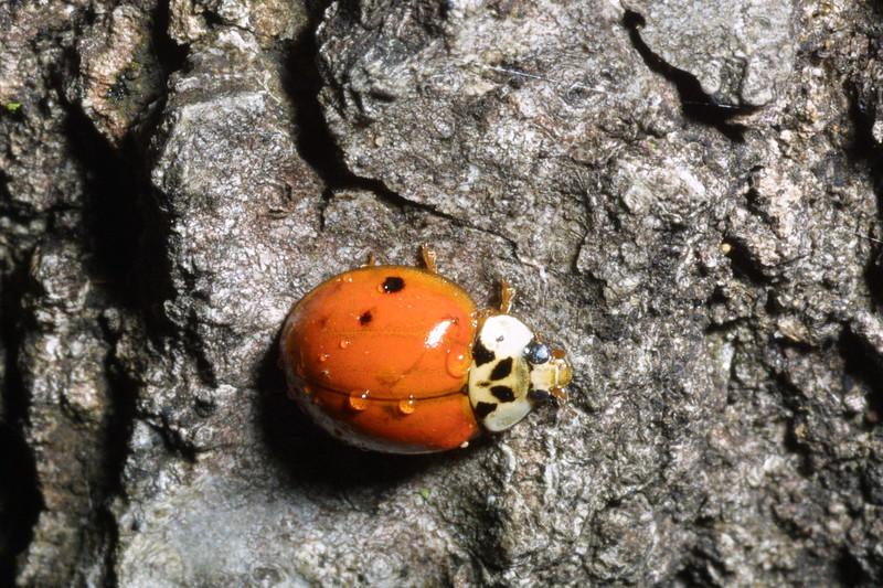 Multicolored Asian Lady Beetle, Ladybug, Harmonia axyridis