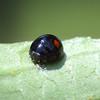 Twicestabbed lady Beetle, Ladybug, Chilocorus stigma