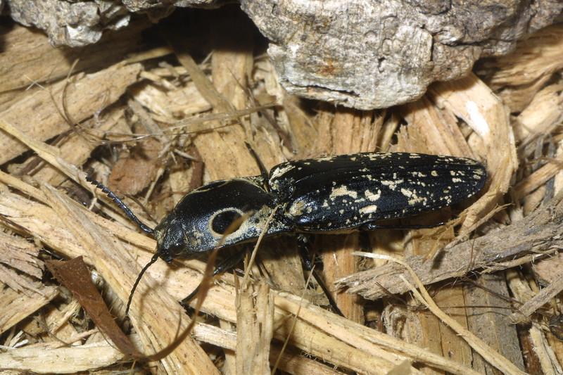 Eyed-elater beetle, Alaus oculatus