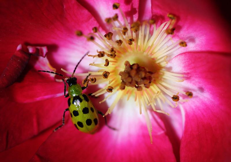 Twelve-spotted Cucumber Beetle, Diabrotica undecimpunctata howardi