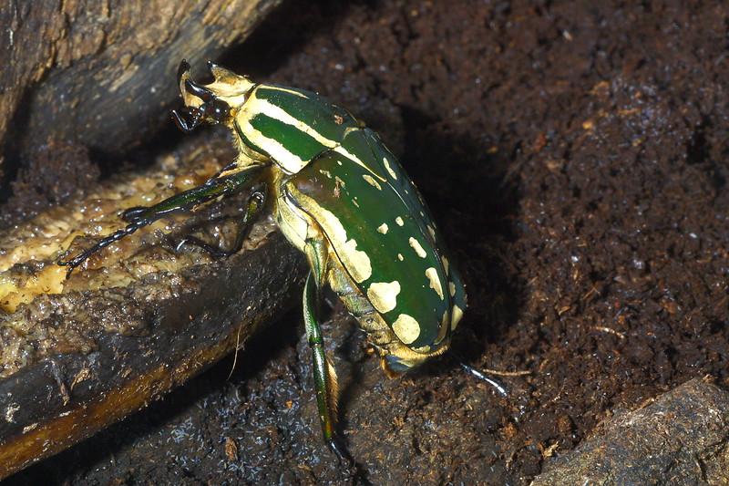 Giant Flower Beetle, Chelorrhina polyphemus
