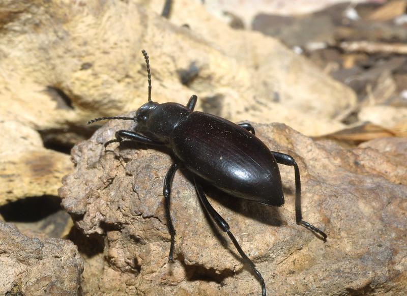 Desert Skunk Beetle, Eleodes armata