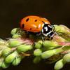 Convergent Ladybeetle, Ladybug, Hipppodamia convergens