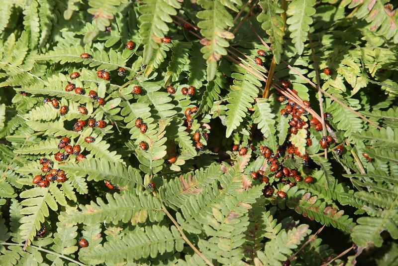 Ladybug swarm on fern