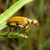 Blister Beetle, Epicauta sp.