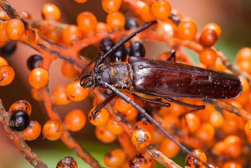 Beetle, Cerambicidae