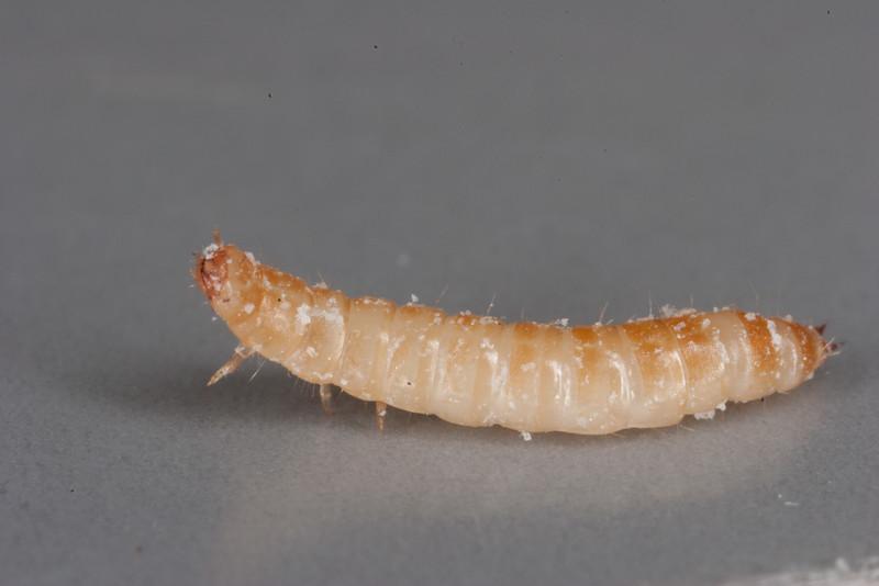 Flour beetle larva, Tribolium sp.