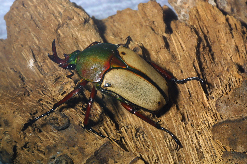 Jade-Headed Buffalo Beetle, Eudicella smithi