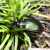 Caterpillar Hunter, Fiery Searcher, Calosoma scrutator