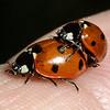 Seven-spotted ladybeetle, Ladybug, Coccinella septempunctata