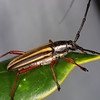 Cerambicid Beetle, Taranomis sp.