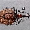 Leaf Beetle, Mormolyce castelnaudi