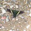 Swallowtail moths, Urania sp.