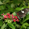 Doirs Butterfly, Heliconius doris