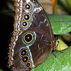 Common Blue Morpho, Morpho peleides