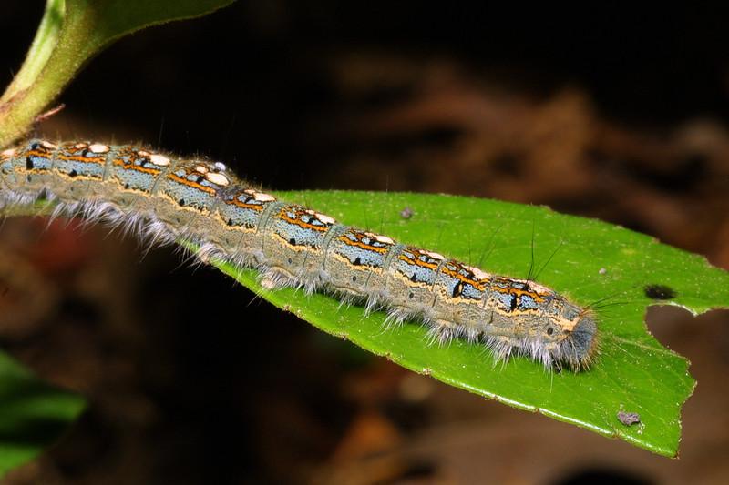 Forest Tent Caterpillar, Malacosoma disstria