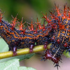 Question Mark Butterfly Caterpillar, Polygonia interrogationis