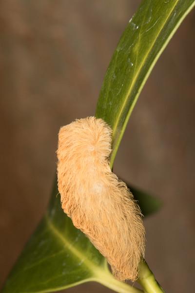 Texas Puss Moth, Asp, Megalopyge opercularis