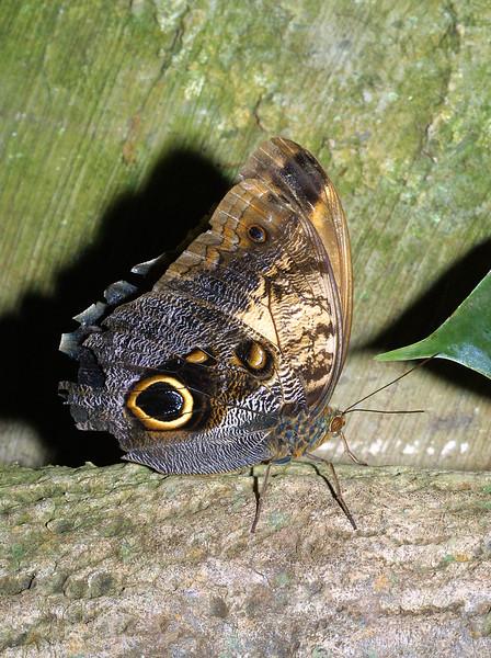 Magnificent Owl, Caligo atreus