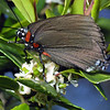 Great Purple Hairstreak,   Atlides halesus