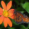 Monarch Butterfly, Danaus plexippus