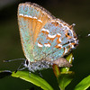 Juniper Hairstreak, Callophyrs gryneus