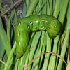 Sphinx Moth caterpillar, Sphingidae