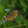 Pearl Crescent butterfly, Phyciodes tharos