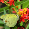Little Yellow, Eurema lisa