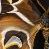 Atlas Moth, Attacus atlas