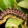 Variegated Fritillary caterpillar, Euptoieta claudia