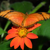 Bright Orange Julia, Dryas iulia