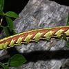 Sweet Potato Hornworm, Agrius cingulata