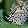 Rice Longwing, Idea leuconoe