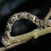 Sweetfern Geometer, Cyclophora pendulinaria