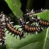 Milkweed Tussock caterpillar,  Euchaeteas egle
