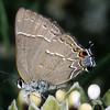Oak (Southern) Hairstreak on Milkweed, Satyrium (Fixsenia) favonius