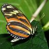 Isabella Butterfly, Eureides sp.