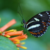 Heliconid Butterfly, Heliconius sp.