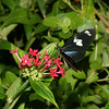 Doirs Butterfly, c